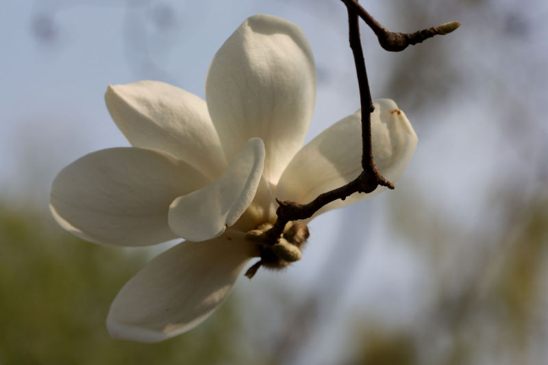 magnolias  on the breeze