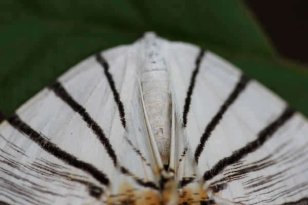 striped moth