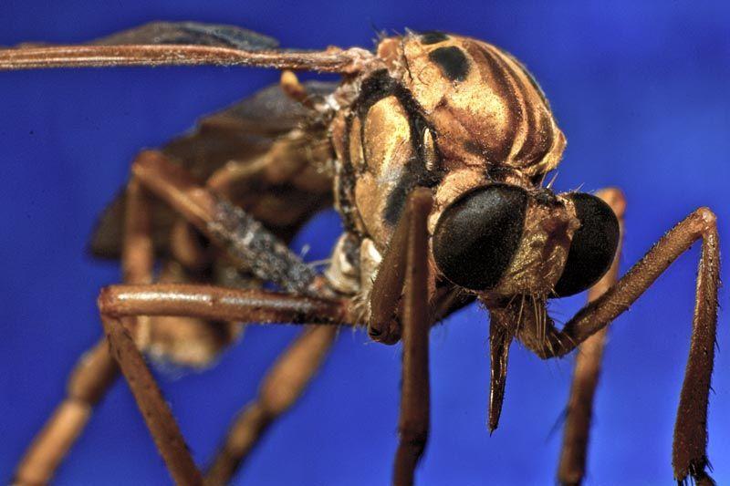 wasp macro cuba