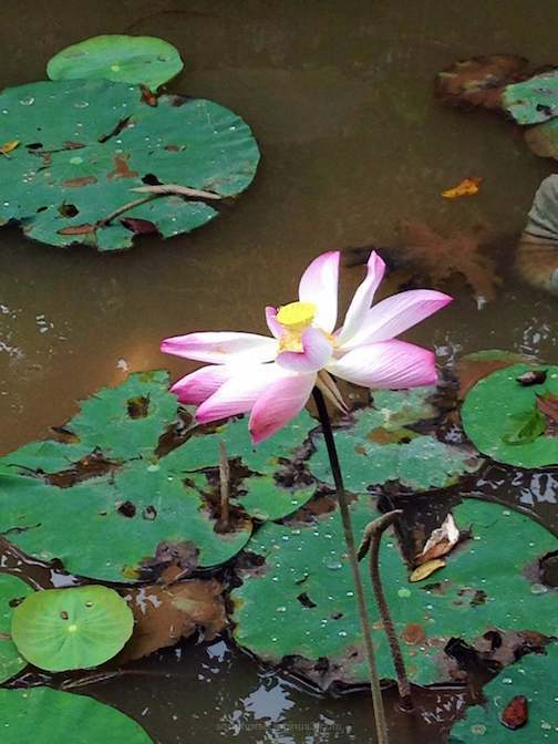 Bên Tre lotus