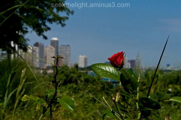City Rose