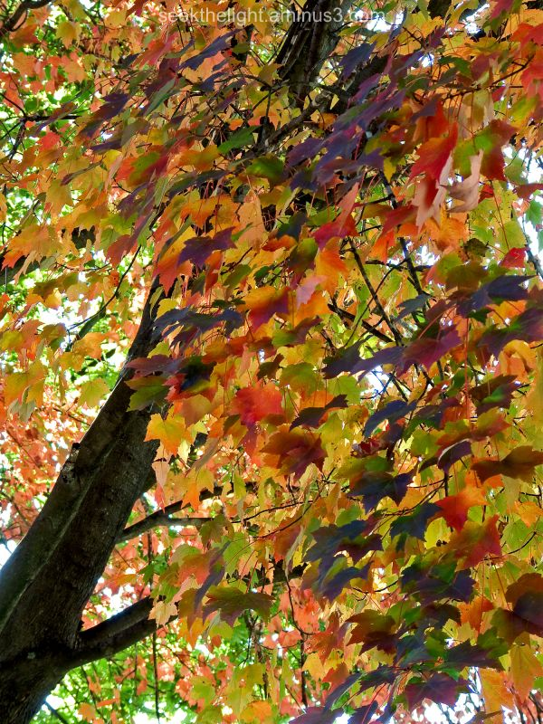 Full-Color Maple