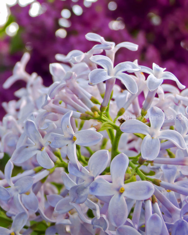 Longing for Lilacs #2
