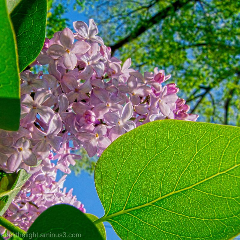 The Lilacs are Now Open