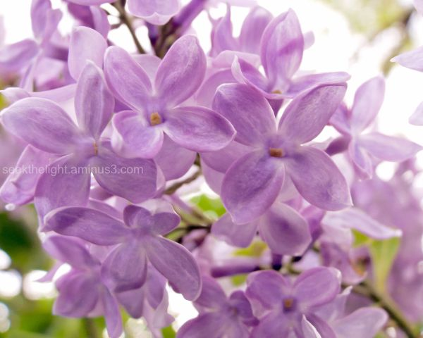 The Lilacs are Now Open (part 2)