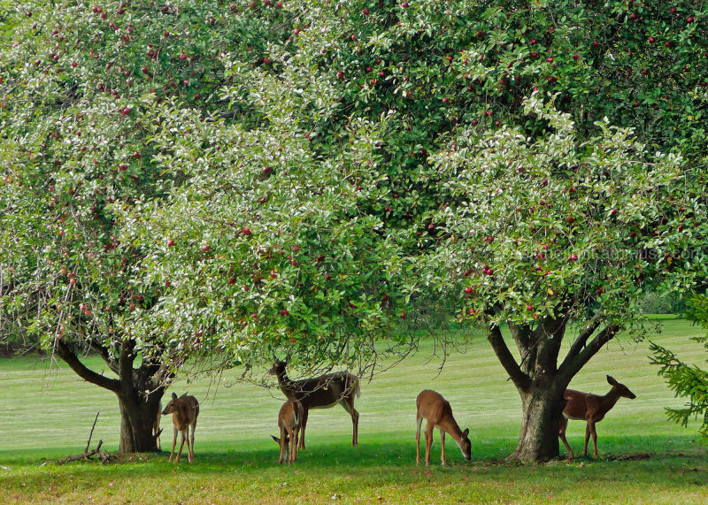 Drive-By Shooting - or - Under the Apple Tree