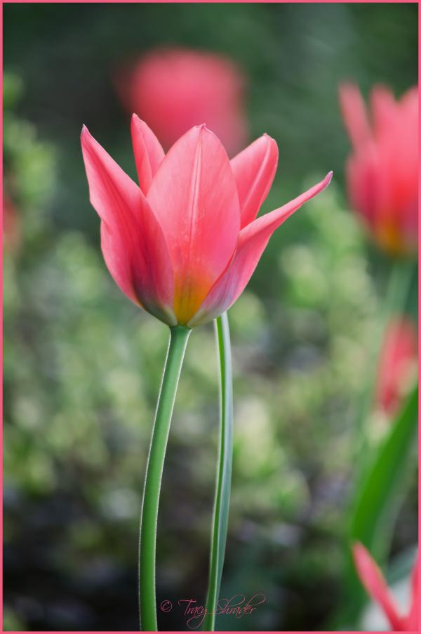 Early Tulips #2