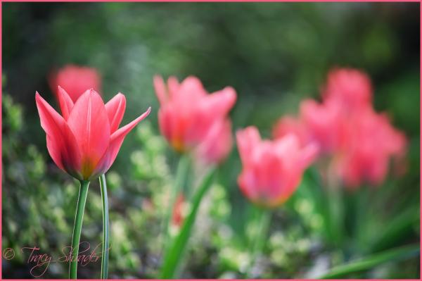 Early Tulips #3