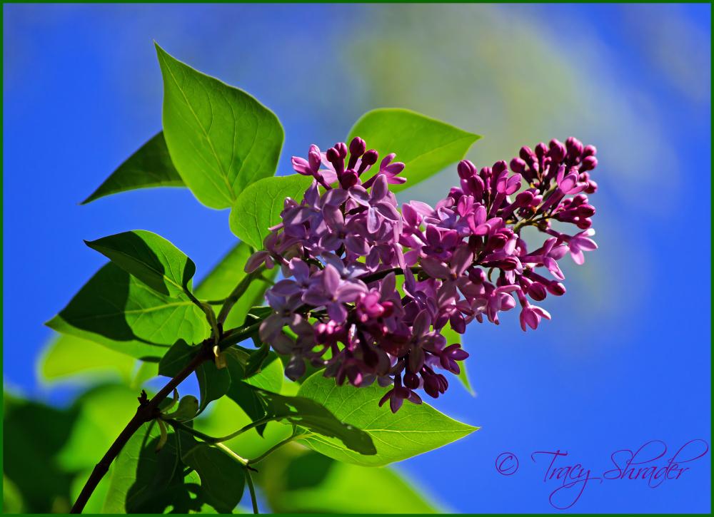 Lovely Lilacs #2
