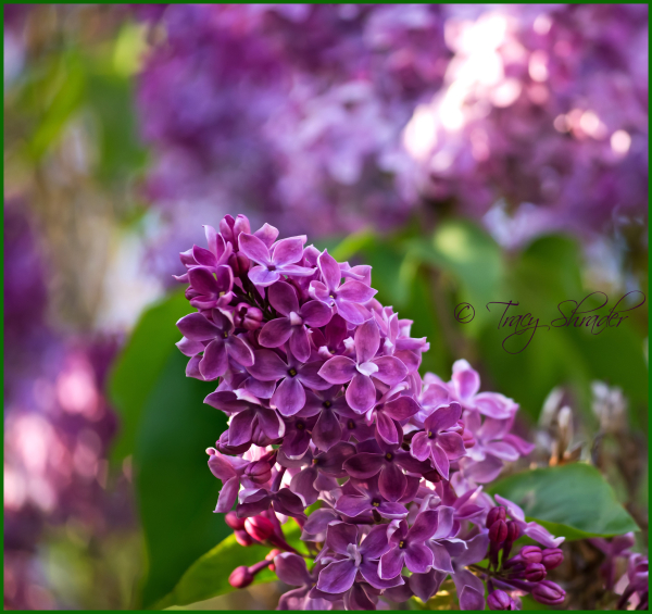 Lovely Lilacs #4