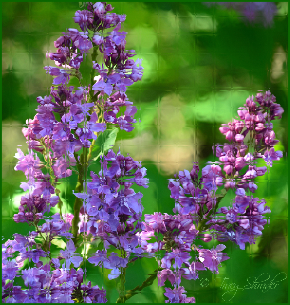 Lovely Lilacs #9