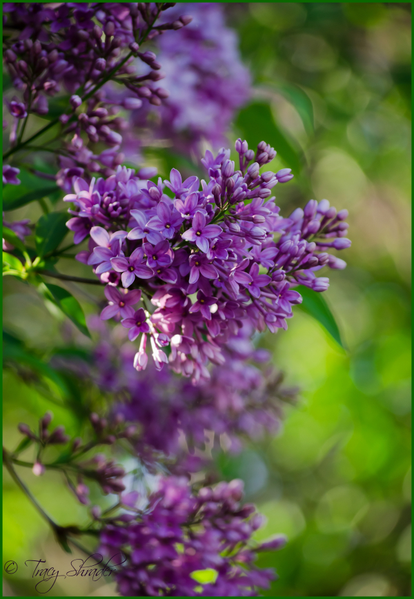 Lovely Lilacs #8
