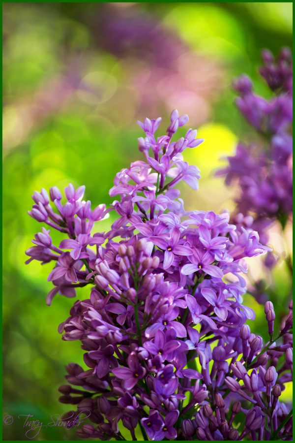 Lovely Lilacs #11
