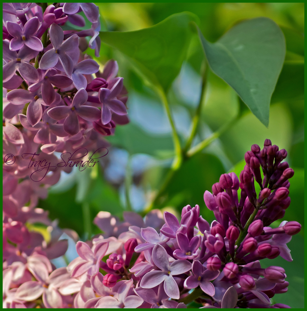 Lovely Lilacs #12