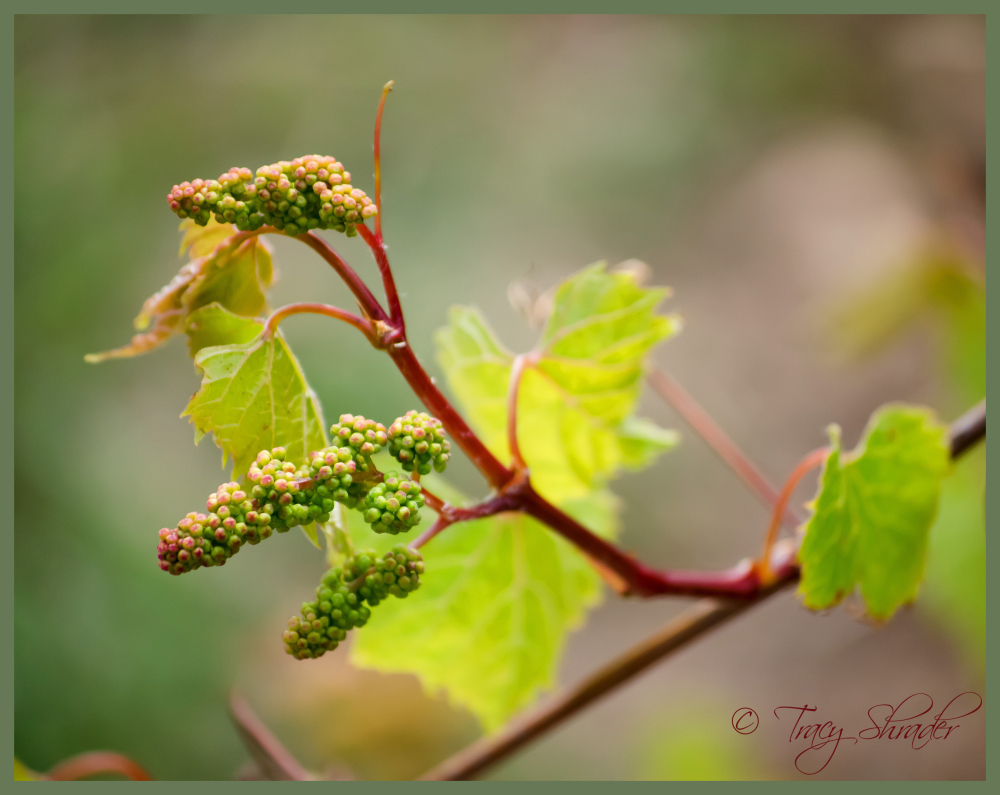 Wild Grapevine