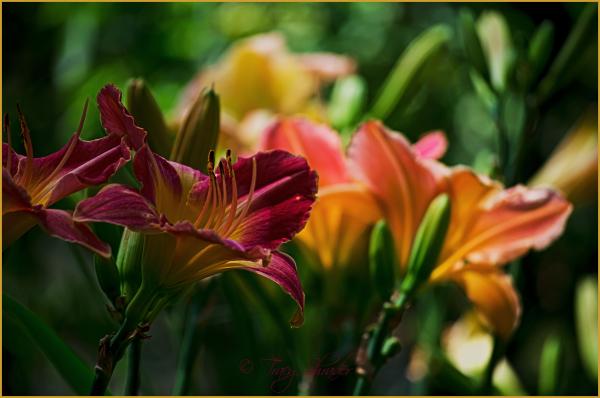 Lillies in the Garden