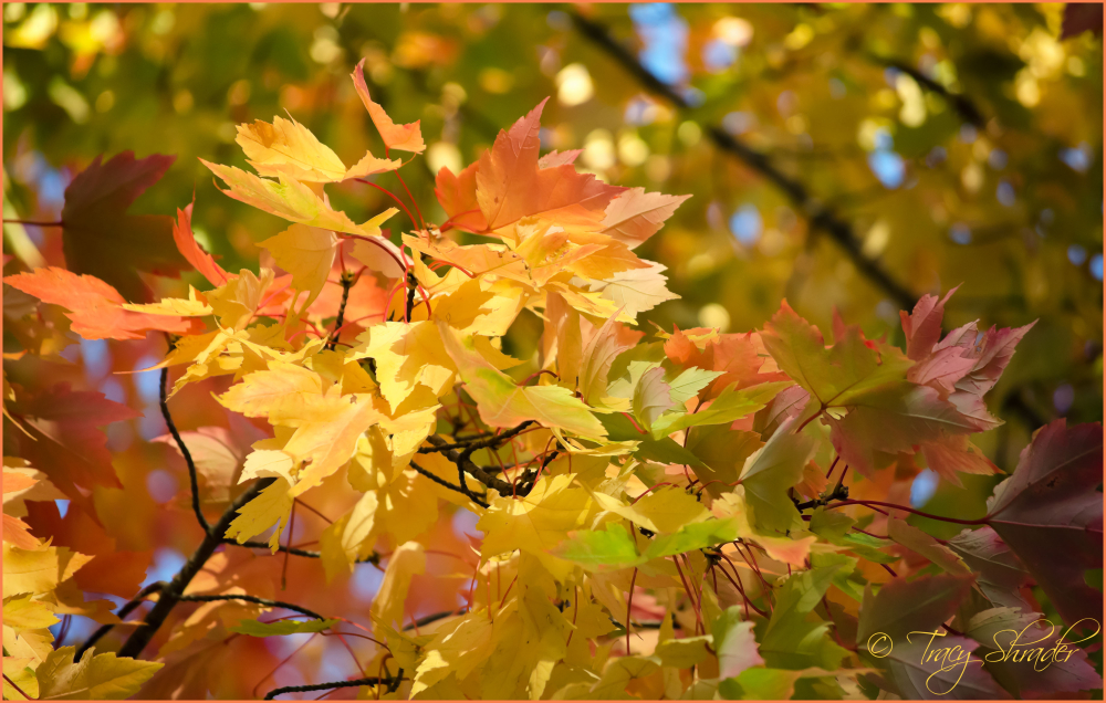 Magnificent Maple