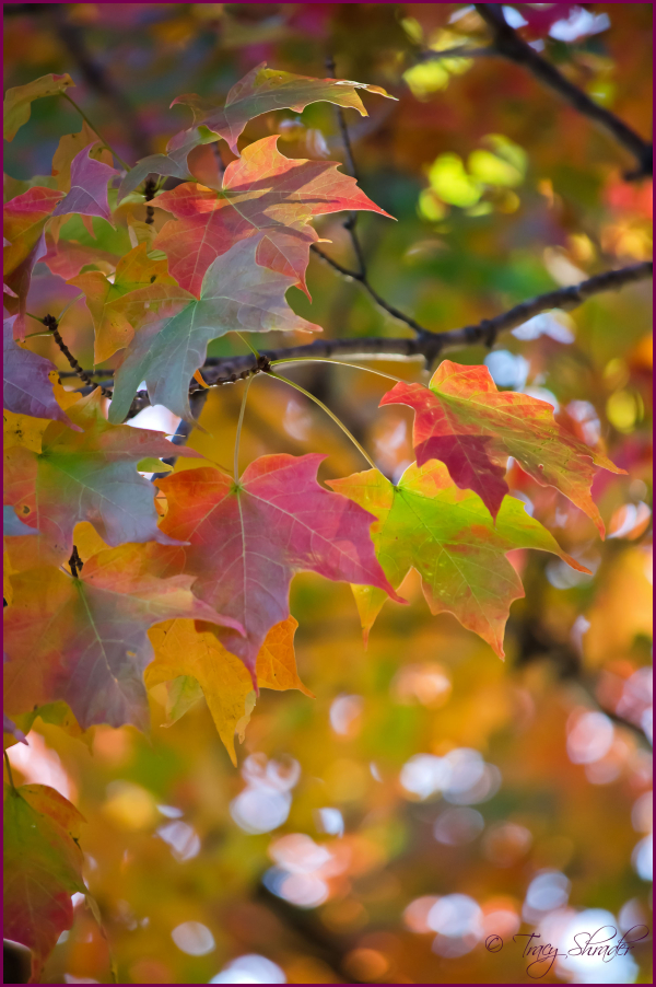 Rainbow-Colored Maple
