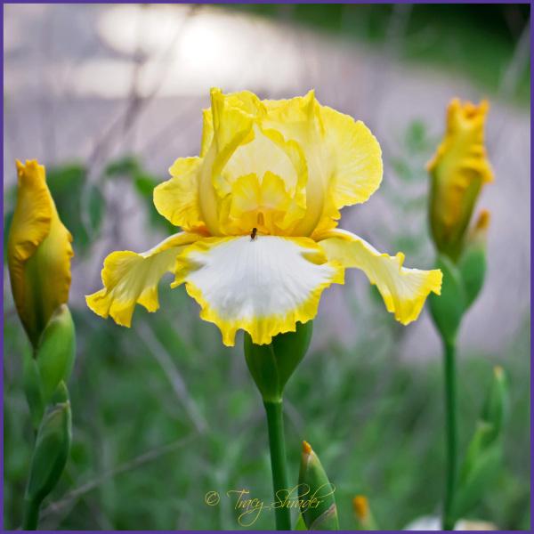 Iris III