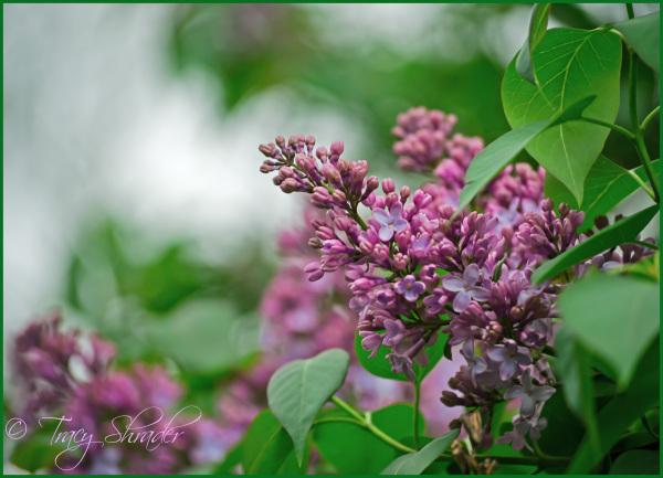 Carol's Lilacs