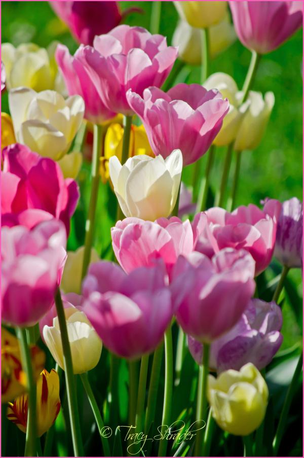 Sharon's Tulips