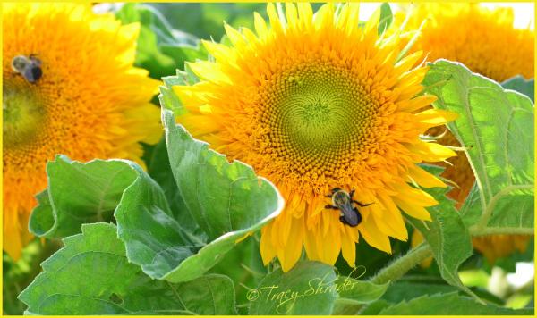 Summer Sun, Fuzzy Bee