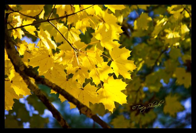 Sunny Maple