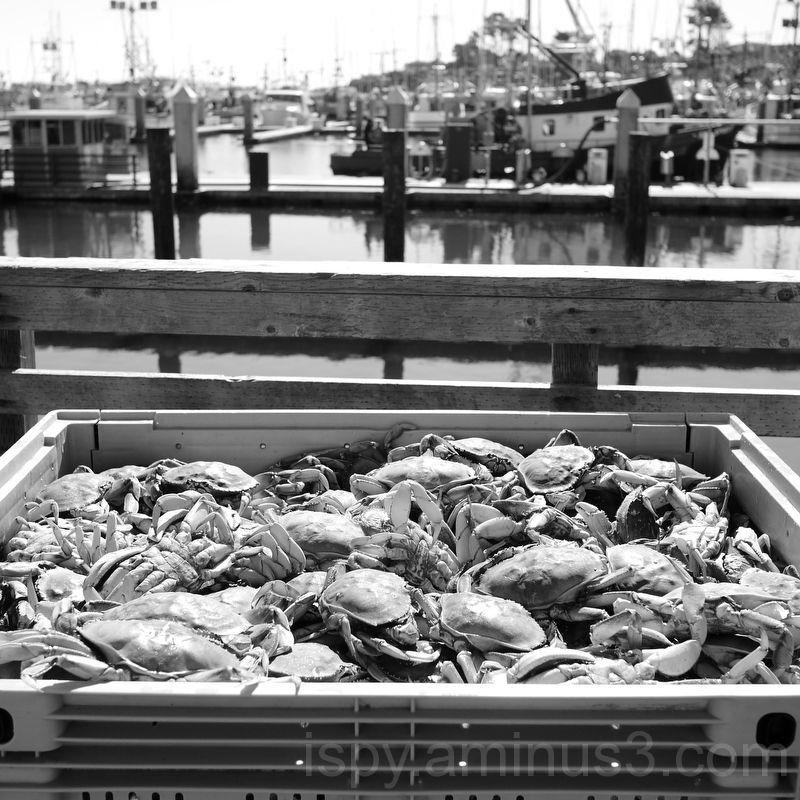Crab in Bodega Bay
