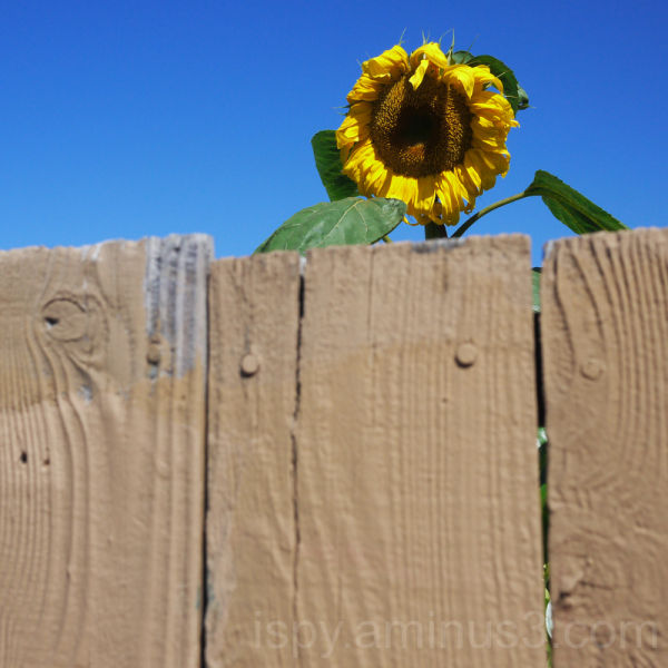 Sunflower Peeking Over Fence