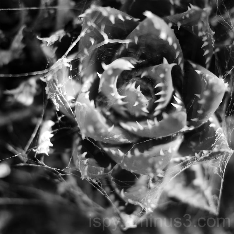 Webs on Cactus