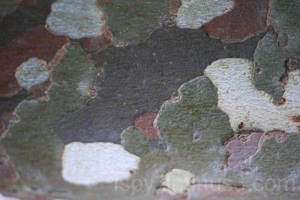 Natural Camouflage...Tree Bark