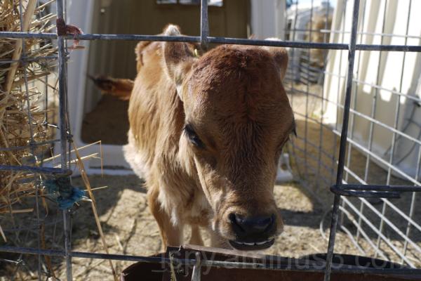 A Mischievous Looking Calf
