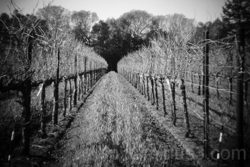 Holga Lens Vineyard