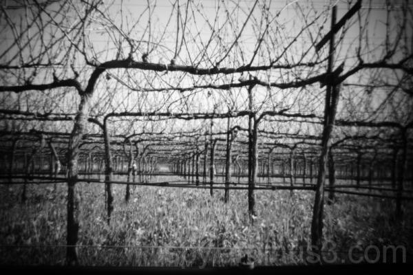 Holga Vines