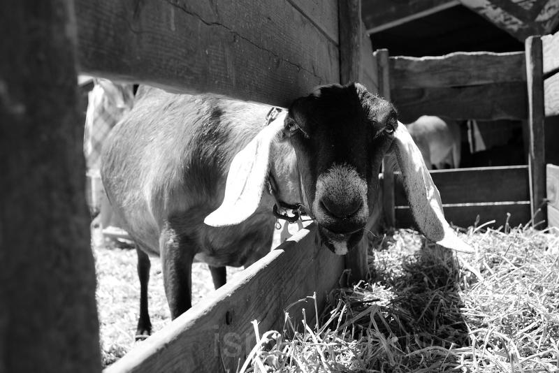 Helloooooo Mr. Goat