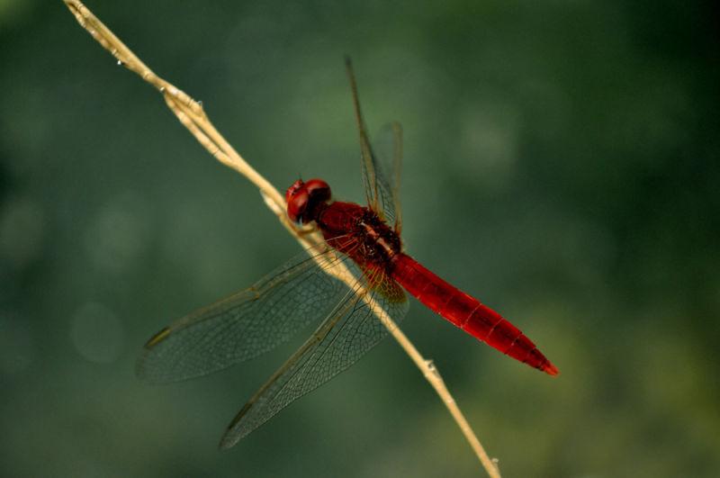 burning dragonfly