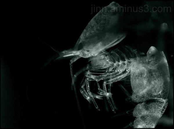 Crystal Red shrimp moult