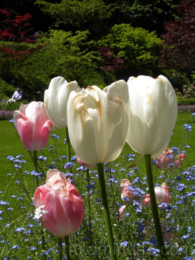 Tulips in the butchart garden