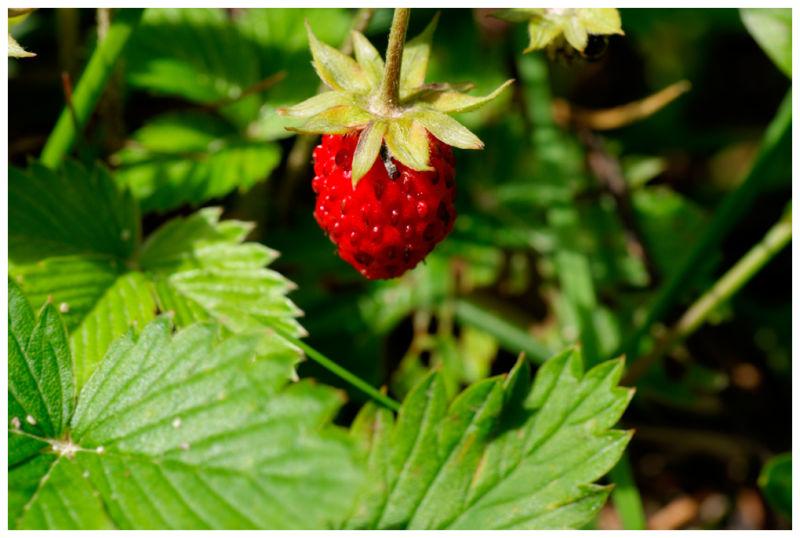 Erdbeere_DSC05217_8_9_tonemapped