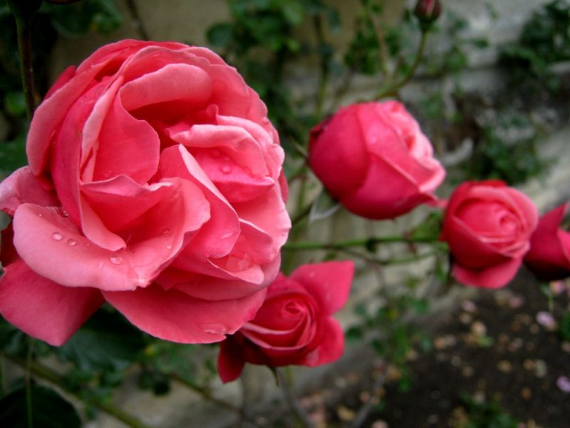 Roses at Magdalen College in Oxford