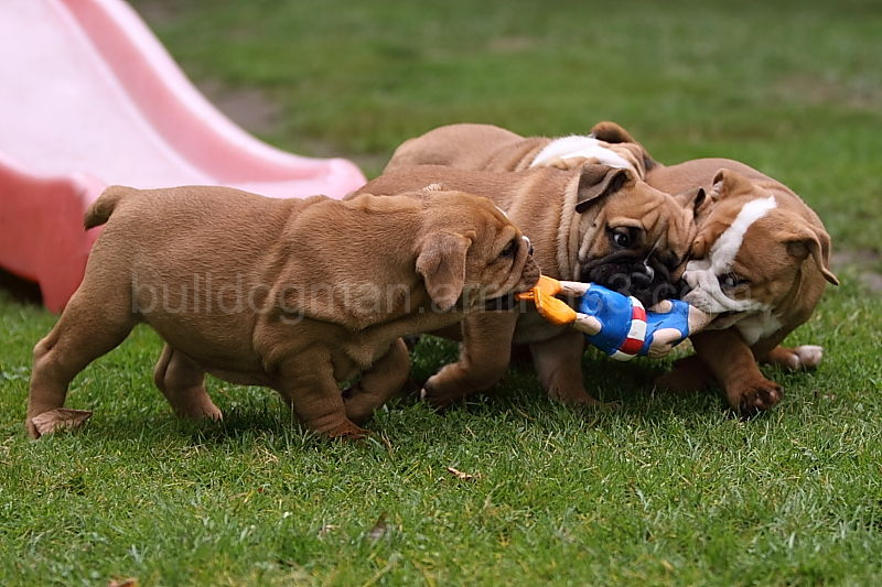 Bulldogman´s Puppies