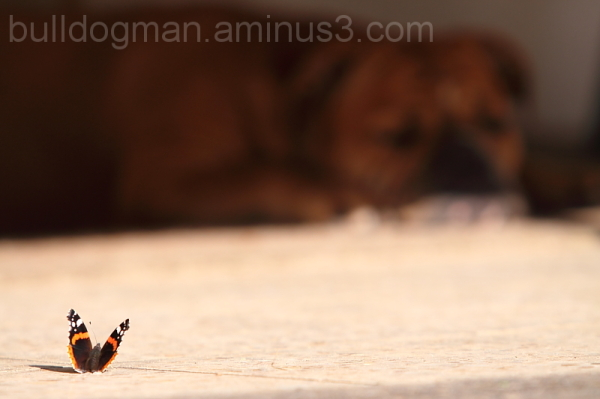 Butterfly & Bulldog