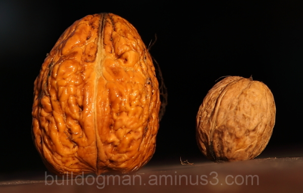 giant and normal  walnut