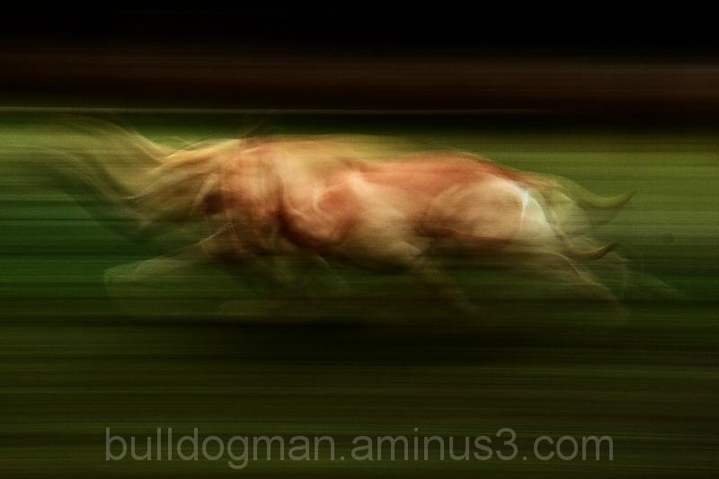 Bulldog in motion