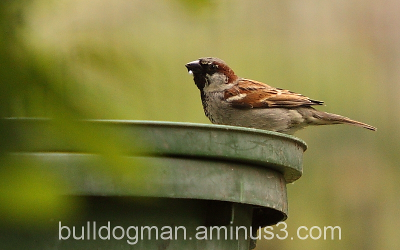 A sparrow's thirst.