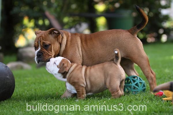 continental bulldog pup