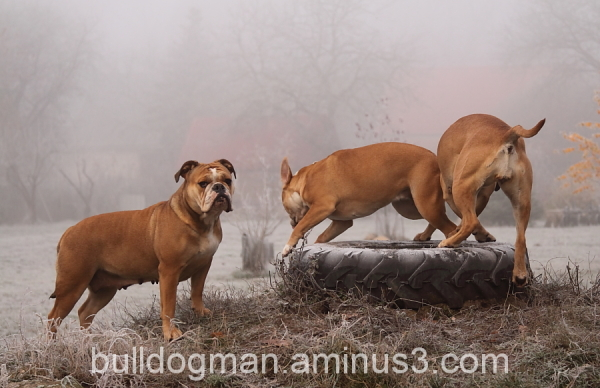 Bulldogman´s Dogs