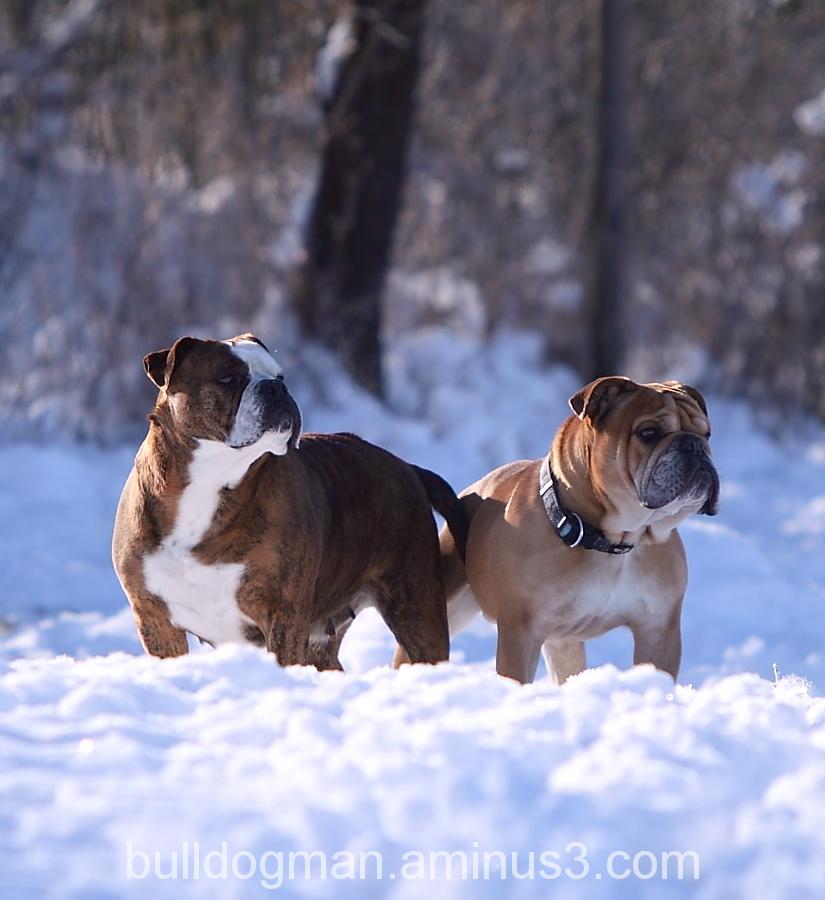 Bulldogs in love