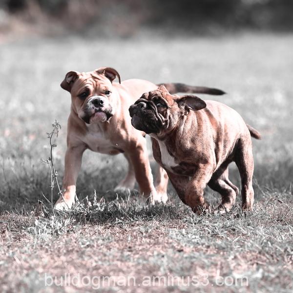 continental bulldog puppies