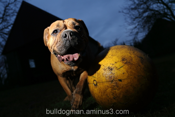 Bulldogs at night